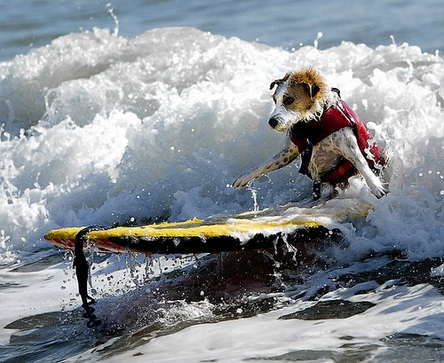 Cute Dogs on Surfboards